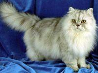 Персидская кошка (серебристая шиншилла)