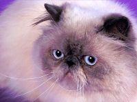 Персидская кошка экстремал