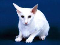 Балинезийская кошка, или балинез