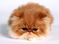 Персидский котенок экстремального типа