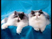Персидские кошки экстремалы
