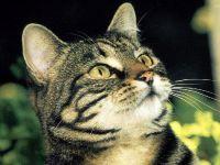 Европейская короткошерстная кошка, обои фото фотография