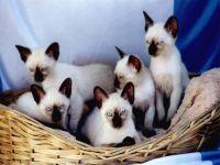 Сиамские котята, фото обои фотография