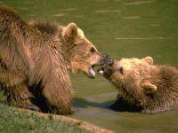 Бурые медведи играют в воде, фото