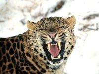 Оскалившийся леопард (Panthera pardus)