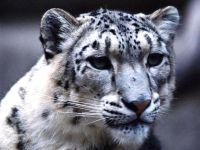 Снежный леопард (Uncia uncia) фото