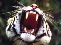 Зевающий тигр