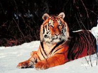 Амурский тигр (Panthera tigris altaica)