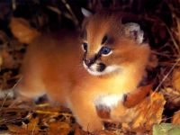 Котенок пумы