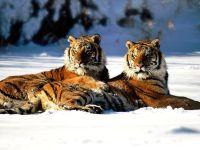 Амурские тигры на снегу,