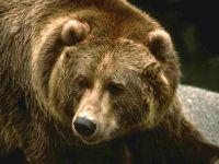 Бурый медведь, гризли