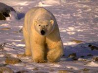 Полярный медведь (Ursus maritimus)