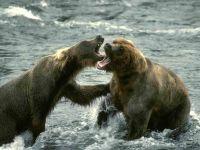 Дерущиеся бурые медведи