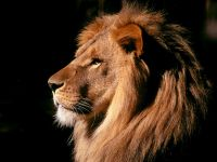 Лев (Panthera leo)