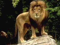 Лев на камне обои