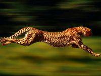 Бегущий гепард фото