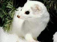 Ласка (Mustela nivalis) фото