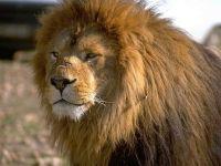 Лев обои