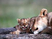 Львица со львенко фотография