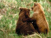 2 бурых медведя