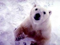 Полярный медведь что-то выпрашивает фото