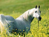 Арабская лошадь в поле
