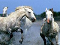 Лошади в яблоках бегут по воде