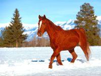 Лошадь бредущая по снеги