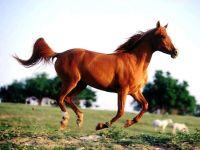 Лошадь, ,