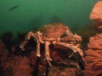Краб под водой