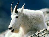 Снежная коза (Oreamnos americanus) фото