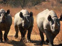 Три носорога
