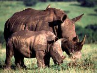 Черные носороги (Rhinoceros bicornis)