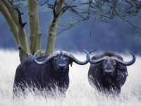Африканский буйвол (Syncerus caffer) фото