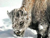 Бизон в снегу фото