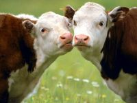 Целующиеся коровы
