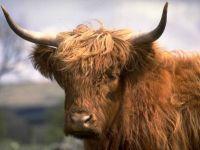 Шотландский горный бык