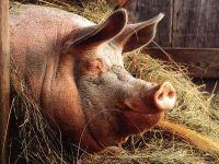 Домашняя свинья ,