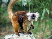 Чёрный лемур (Eulemur macaco)
