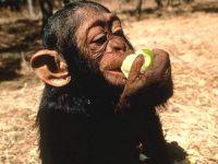 Шимпанзе ест яблоко