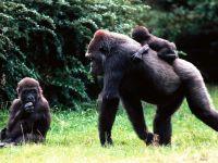 Западные гориллы (Gorilla gorilla)