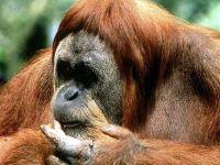 Борнейский орангутан (Pongo pygmaeus)