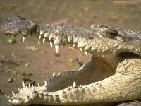 Крокодил с открытой пастью,