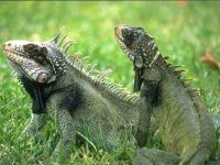 Зеленые игуаны (Iguana iguana)