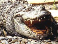 Миссисипский аллигатор (Alligator mississippiensis), фото  фотография обои