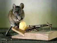 Мышка сидит около мышеловки