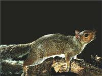Каролинская серая белка (Sciurus carolinensis)