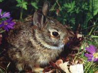 Европейский кролик (Oryctolagus cuniculus),