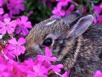 Карликовый кролик обои