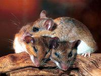 Каирская мышь (Acomys cahirinus)
